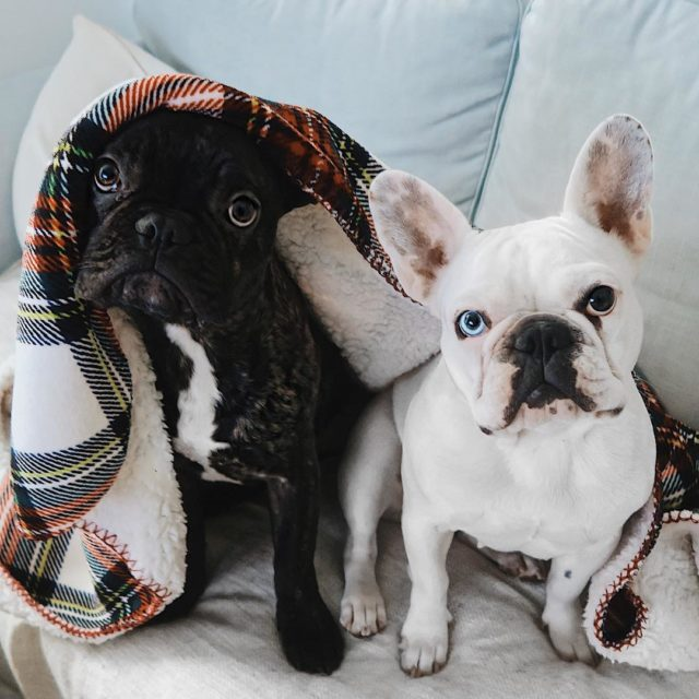 Who is the guilty one?? bennieandbill bennieandbill dogsofinsta dogstagram doghellip