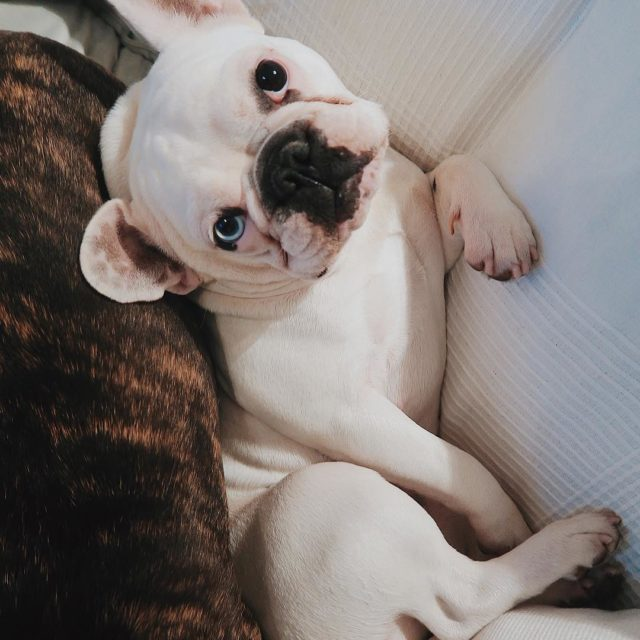 Mommy please come home bennieandbill frenchies puppiesofig